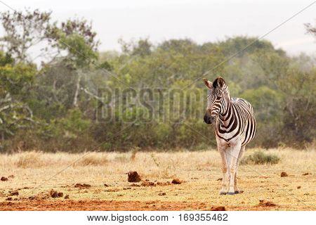 Burchell's Zebra Standing Alone And Waiting