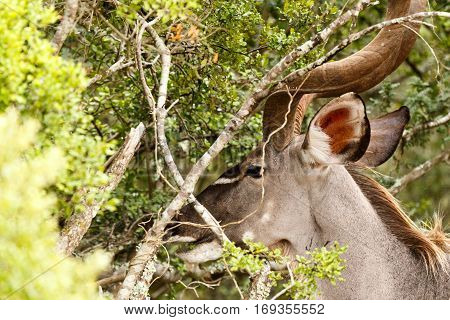 Greater Kudu With His Head Between The Branches