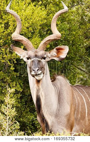 Greater Kudu Chewing On A Leaf