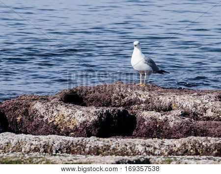 Mediterranean Gull Basking In Early Morning Sun, Standing On Rocks