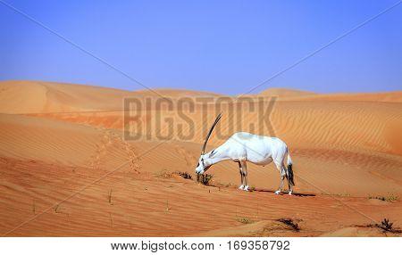 Oryx or Arabian antelope