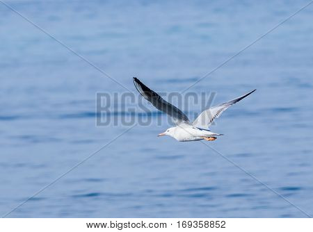 Mediterranean Gull Flies Above The Surface Of The Mediterranean Sea