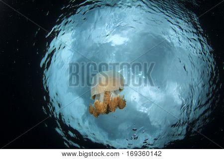 Jellyfish jelly fish