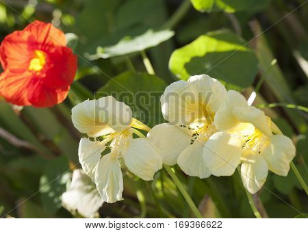 Nasturtium (Indian cress) flowers in a sunny day