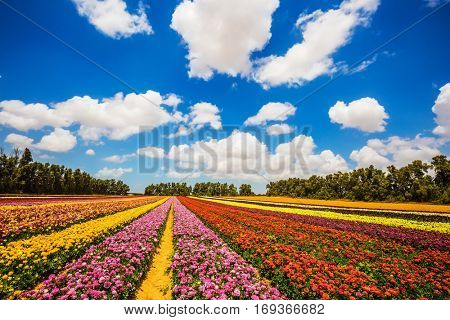 Farm field of beautiful flowers. Garden buttercups bloom in bright colors. A walk on a sunny day. The concept of eco-tourism