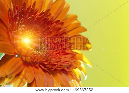 Red Transvaal daisy flower. Close up in a sunny day
