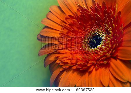 Red Transvaal daisy flower.Close up in a sunny day