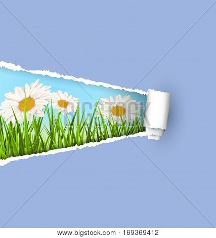 Green grass lawn with white chamomiles and ripped paper sheet isolated on green. Floral nature flower background