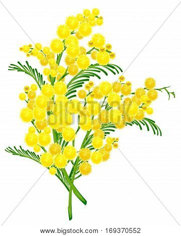 Yellow acacia blossom branch flower. Isolated on white vector illustration