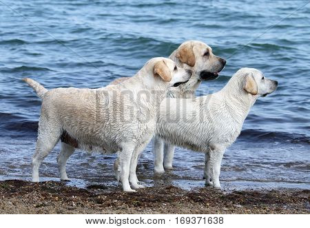 Three Cute Yellow Labradors By The Sea