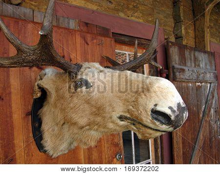 Stuffed moose head in Bergen in Norway