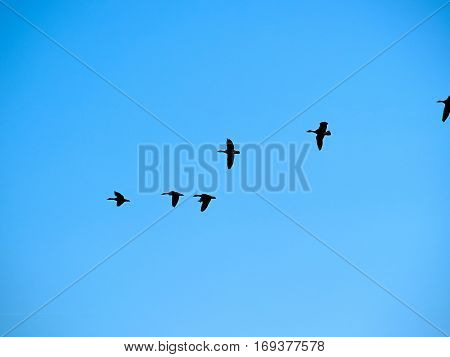 Bird flock of snow Canadian geese flying migrating with clear blue sky background