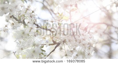 Cherry blossoms on a tree in springtime