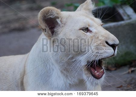 Hungry lion yawns and look at prey