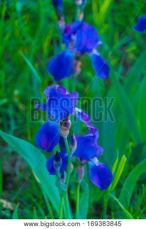 Blue Iris Flower In The Summer Garden