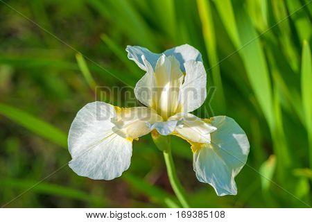 White Iris Flower In The Summer Garden