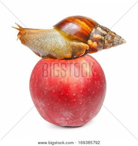 Snail on the red apple isolated white background