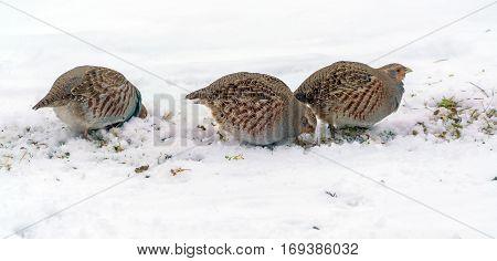 Group Of Wild Grey Partridges