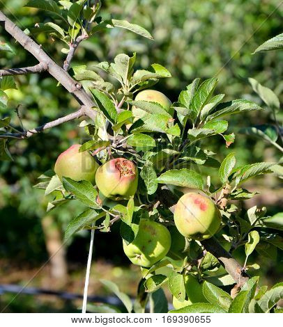 Apples Damaged By Hail Storm