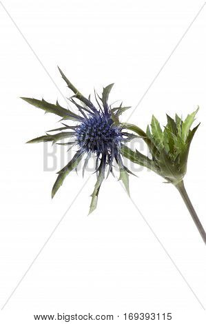 Eryngium planum flower isolated on white background