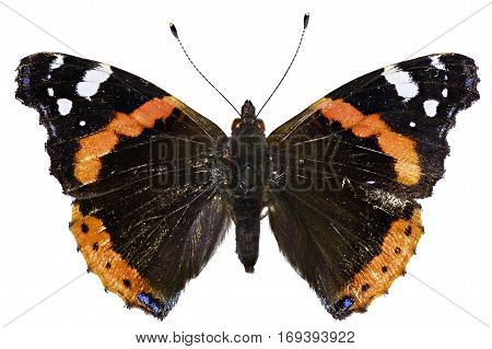 Red Admiral on white Background - Vanessa atalanta (Linnaeus 1758)