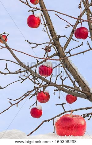 Icy red apple on the snow on a background of branches with apples in winter day