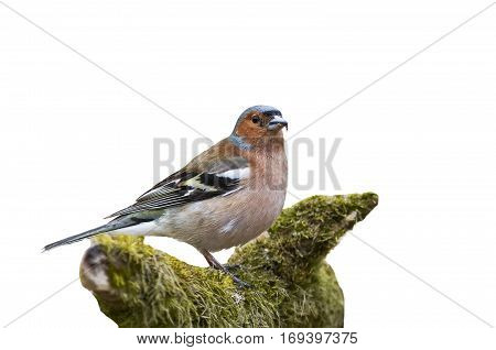 the bird is a Finch standing on a branch with moss on a white isolated background