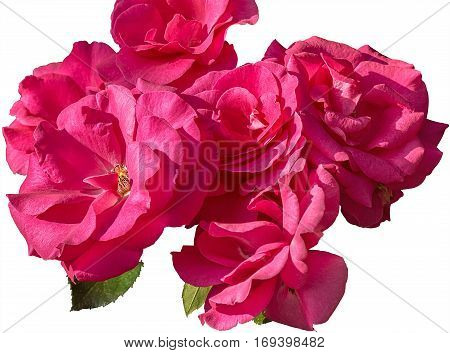 Inflorescences of pink roses isolated on a white background