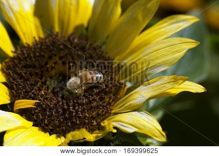 Bee sits on a sunflower gathering pollen in springtime