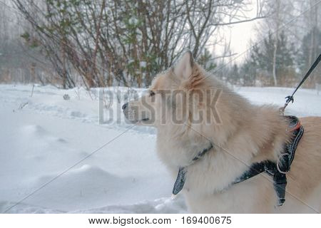 Husky For A Walk In The Winter Woods