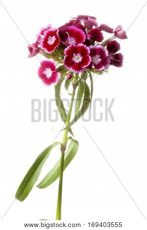 Dianthus barbatus or Sweet William flower isolated on white background