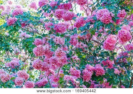 Pink Pantip blossom flowers on the tree.