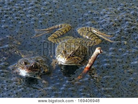 Frogs in the water of a pond next to spawning