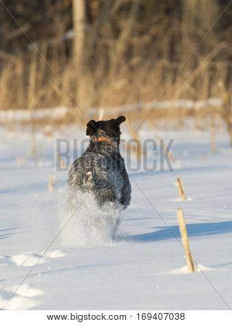 A hunting dog running across a snow covered field