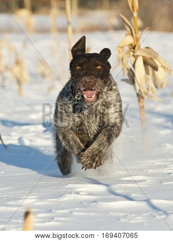 A hunting dog running across a snowy field