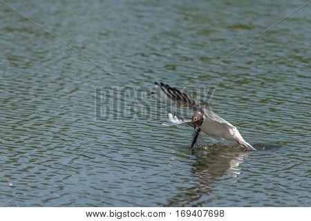 Beautiful Seagull Caught Fish
