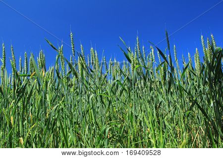 Background field with immature wheat before blue sky
