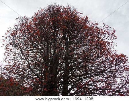 a red tree in autumn season with a lot of ramification