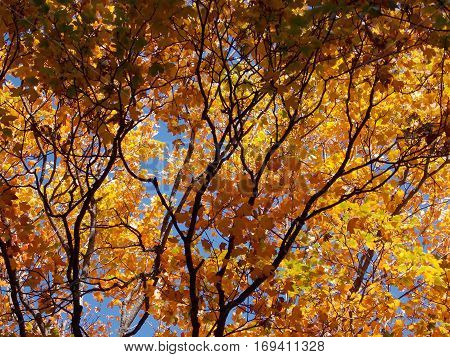 a ramified tree in autumn season with a contrast in color