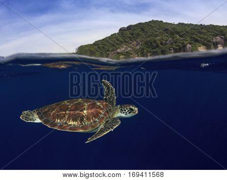 Green Sea Turtle swims below surface beside island