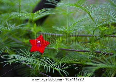 Beautiful Red Cypress Vine Flower or Ipomoea quamoclit Flower