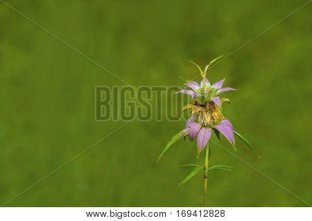 Spotted Bee-balm (Monarda punctata)