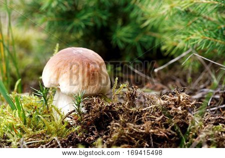 Boletus edulis edible mushroom in the forest