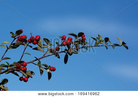 Cotoneaster Branch Against The Sky