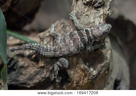 Cuvier's Madagascar swift (Oplurus cuvieri), also known as the Madagascar collared iguana.
