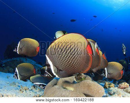 Red-tail Butterflyfish. Fish school underwater
