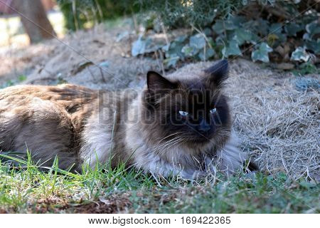 Brown Ragdoll cat relaxing outdoors on grass