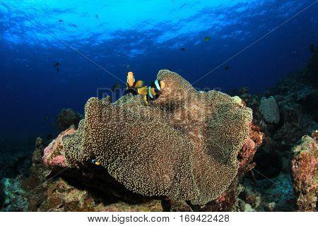Clownfish fish on sea anemone