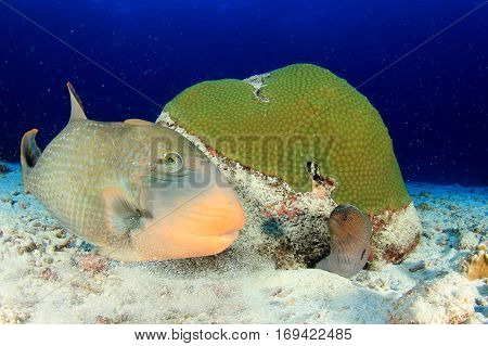 Triggerfish and moray eel