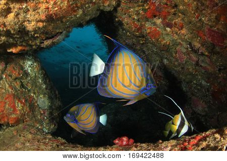 Ring Angelfish fish on coral reef